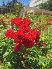 Rose Bushes in front of a building on campus. Location: UCLA